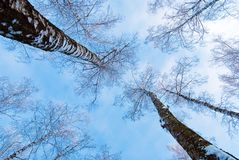 Two birches. That skies-rocket into blue sky Stock Image