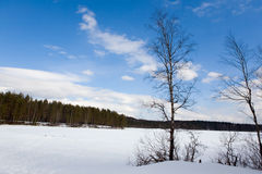 Two birches against wood Royalty Free Stock Photography