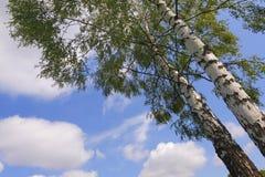 Two birches (Betula pendula) Royalty Free Stock Image