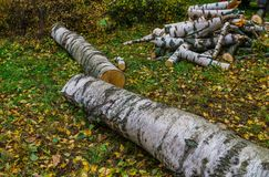 Two birches that fell after the storm are cut into firewood royalty free stock image