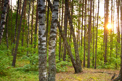 Two birches in green forest Royalty Free Stock Photo