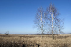 Two birches Stock Images