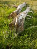 Two birches lie on the green grass Royalty Free Stock Photo