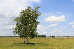 Two birches standing in the field inclined by a wind Royalty Free Stock Photos