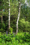 Two birches in summer forest Stock Image