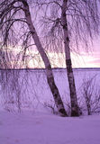 Two birches at sunset Stock Photography