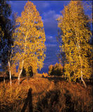 Two birches Royalty Free Stock Photo