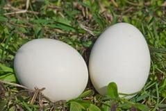 Two bird egg in a  grass Royalty Free Stock Photos
