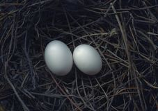 Two bird eggs in hatching nest Royalty Free Stock Photography