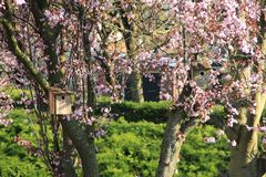 Two bird houses in the trunk of the tree with pink blossom. stock photo