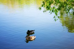 Two bird Mallard ducks swims in lake or river the city park. Spring or summer day royalty free stock photos