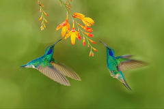 Two bird with orange flower. Green hummingbirds Green Violet-ear, Colibri thalassinus, flying next to beautiful yellow flower, Sav stock images