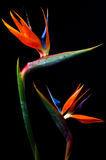 Two Bird of paradise Royalty Free Stock Photo