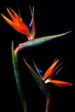 Two Bird of paradise. Two Bird-of-paradise flowers on black background Royalty Free Stock Photo