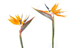 Two bird of paradise Stock Photos