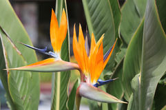 Two bird of paradise flowers Stock Photos