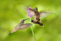 Two bird with pink flower. Hummingbird Brown Violet-ear, Colibri delphinae, bird flying next to beautiful violet bloom, nice flowe. R stock photography