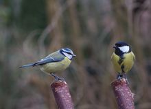 Two bird tit on branch Royalty Free Stock Image