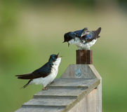 Two Tree Swallows on Nest box. Males fighting over territory Royalty Free Stock Photos