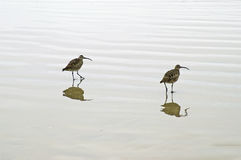 Two birds. Two long beaked birds walking the shore in search of food Royalty Free Stock Photos