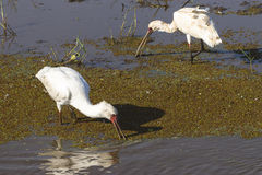 Two birds , african spoonbill Royalty Free Stock Image