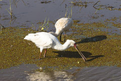 Two birds , african spoonbill Royalty Free Stock Photo