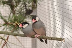 Two birds Amadin in the cage on branch royalty free stock images