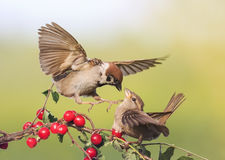 Two birds arguing Sparrow on a branch with ripe berries. Two birds arguing Sparrow on a branch with ripe red berries royalty free stock photography