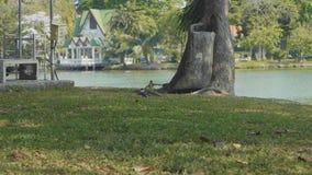Two birds attack the varan in Lumpini Park at Bangkok. Two birds attack the lizard in Lumpini Park at Bangkok. Varan`s wildlife at the city stock video