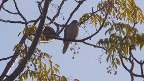 Two birds on a Autumn tree. Full shot of two birds on a Autumn tree, different seasons series stock video footage