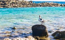 Two birds in Baby Beach, Aruba. Birds playing Royalty Free Stock Photo