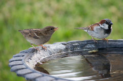 Two Birds at a Birdbath. Two small birds sitting at a birdbath on a summer day Royalty Free Stock Image