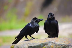 Two birds of the crow Stock Photo