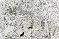 Two birds of crow sit on a snowy tree against the background of royalty free stock image