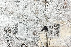 Two birds of crow sit on a snowy tree against the background of royalty free stock photography