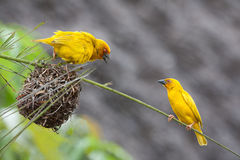 Two birds defending their nest. Two golden palm weaving birds defending their nest Stock Images