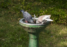 Two birds drinks water. Two pigeons drinks water from the water fountain stock images