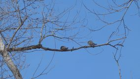 Two birds on a dry branch. Against the blue sky stock footage