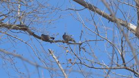 Two birds on a dry branch. Against the blue sky stock video footage