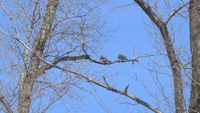 Two birds on a dry branch. Against the blue sky stock video