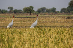 Two birds in a farmers field Royalty Free Stock Photography