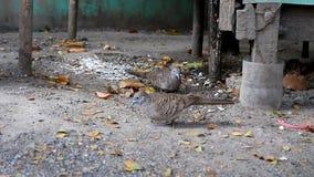 Two birds are feeding . Two birds are feeding on the ground stock footage
