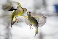 Two birds fighting in flight. Over sunflower seed Stock Photo
