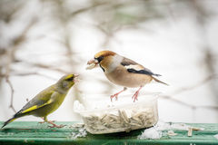 Two birds fighting over sunflower seeds. In a bowl outdoors Stock Photos