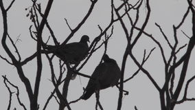 Two birds fly away from a winter tree stock video footage