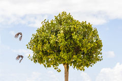 Two birds flying around a tree Stock Photography