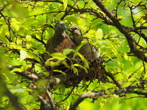 Free Two Birds In Bird`s Nest, Baby Bird Kiss Mother With Love Royalty Free Stock Photography - 87499717