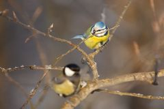 Two birds: a little bird chickadee and a tomtit. Are sitting on a branch of tree royalty free stock photos