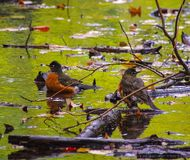 After the storm: birds in pond with tree debris and wet leaves Central Park, NYC. Two birds looking a little worse for wear seem to take stock of their situation Royalty Free Stock Images