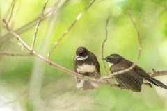 Two birds (Malaysian Pied Fantail) in nature wild. Two birds (Malaysian Pied Fantail, Rhipidura javanica) black and white color are couple, friends or brethren stock photo